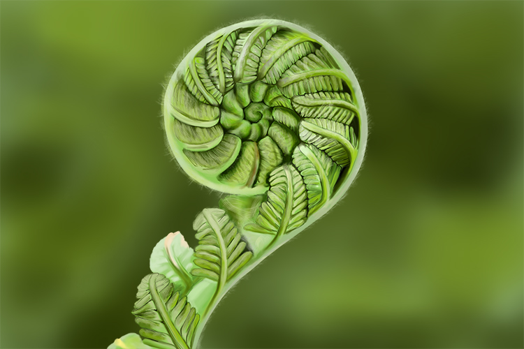 Fronds are distinctive leaves that unfurl, young fronds are called fiddle heads because of its shape, unfurled