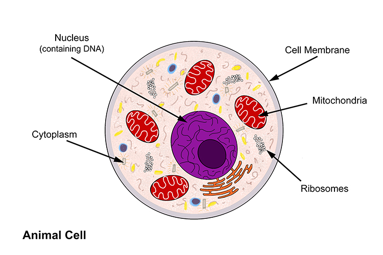 Annotated diagram of an animal cell including detailed structure