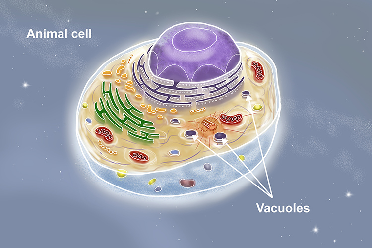 Graphic showing several small vacuoles in animal cells