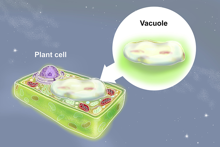 Image showing one large vacuole in plant cells that contain food, water or waste