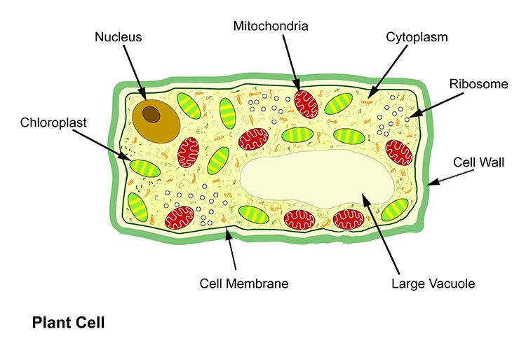Annotated diagram of a plant cell including detailed structure