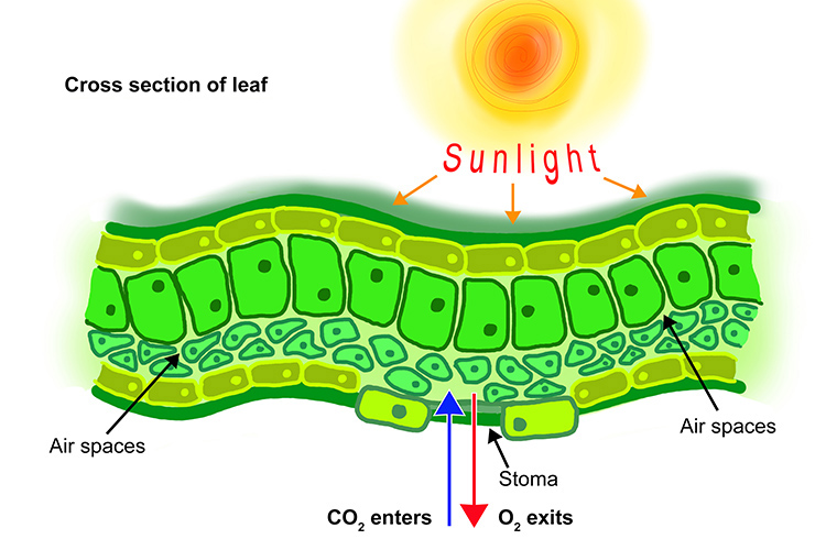 Cross section of a leaf showing how CO2 enters and O2 exits through diffusion