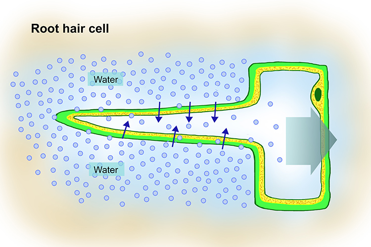 annotated diagram of a root hair cell