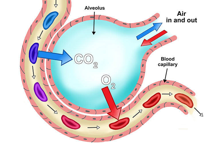 Diagram shows how CO2 diffuses out of blood flow and diffusion of O2 into blood flow