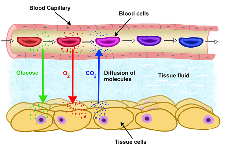 From blood flow O2 and glucose are diffused into the body while CO2 is drawn from tissue to the blood diagram