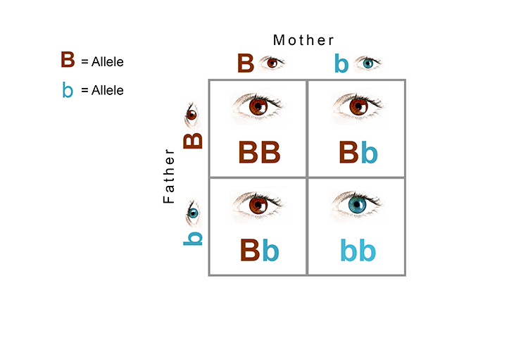 Punnet square diagram showing the dominant and recessive alleles