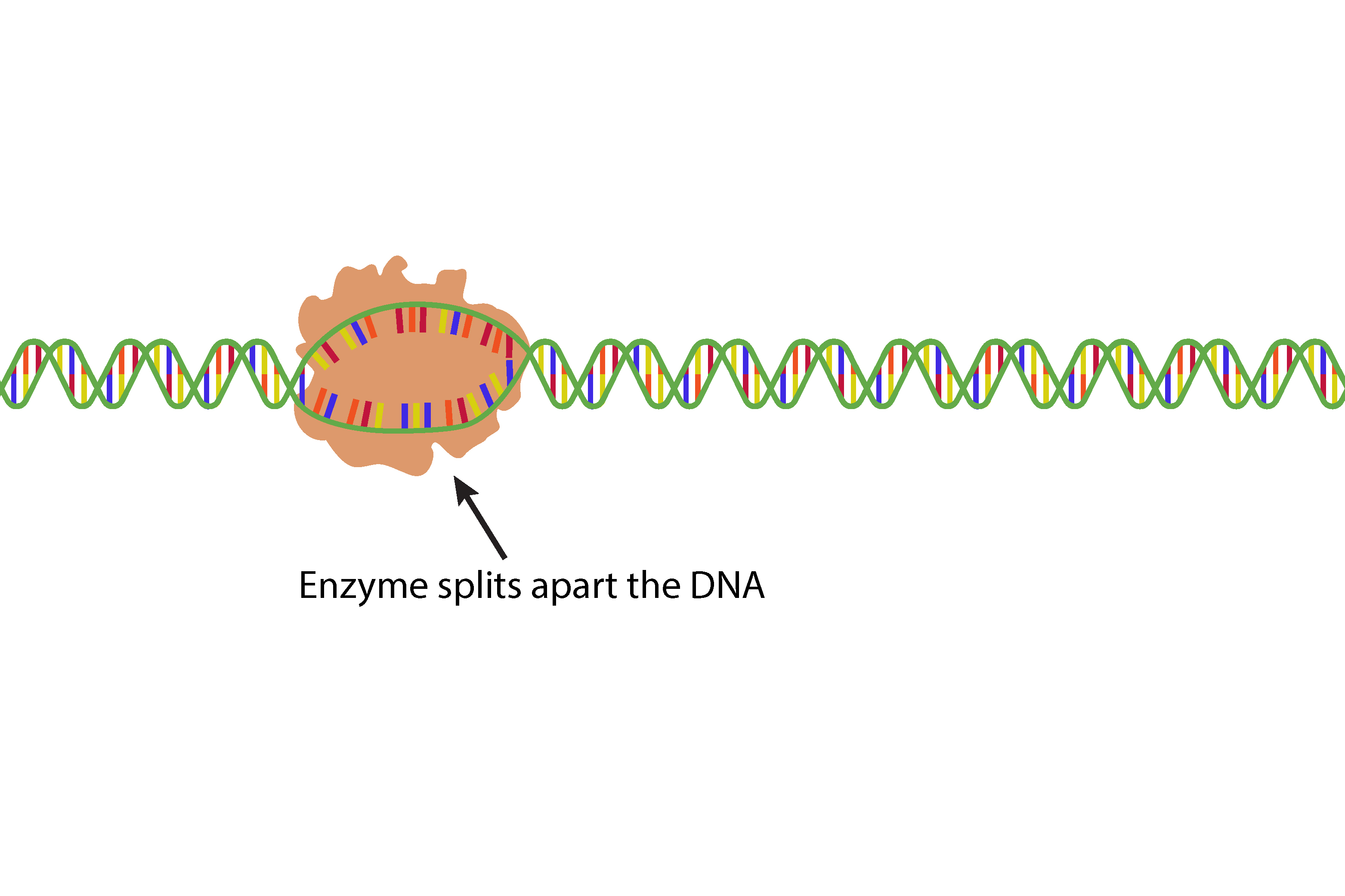 Before the Enzyme reads the gene segment it splits open the DNA so it can begin