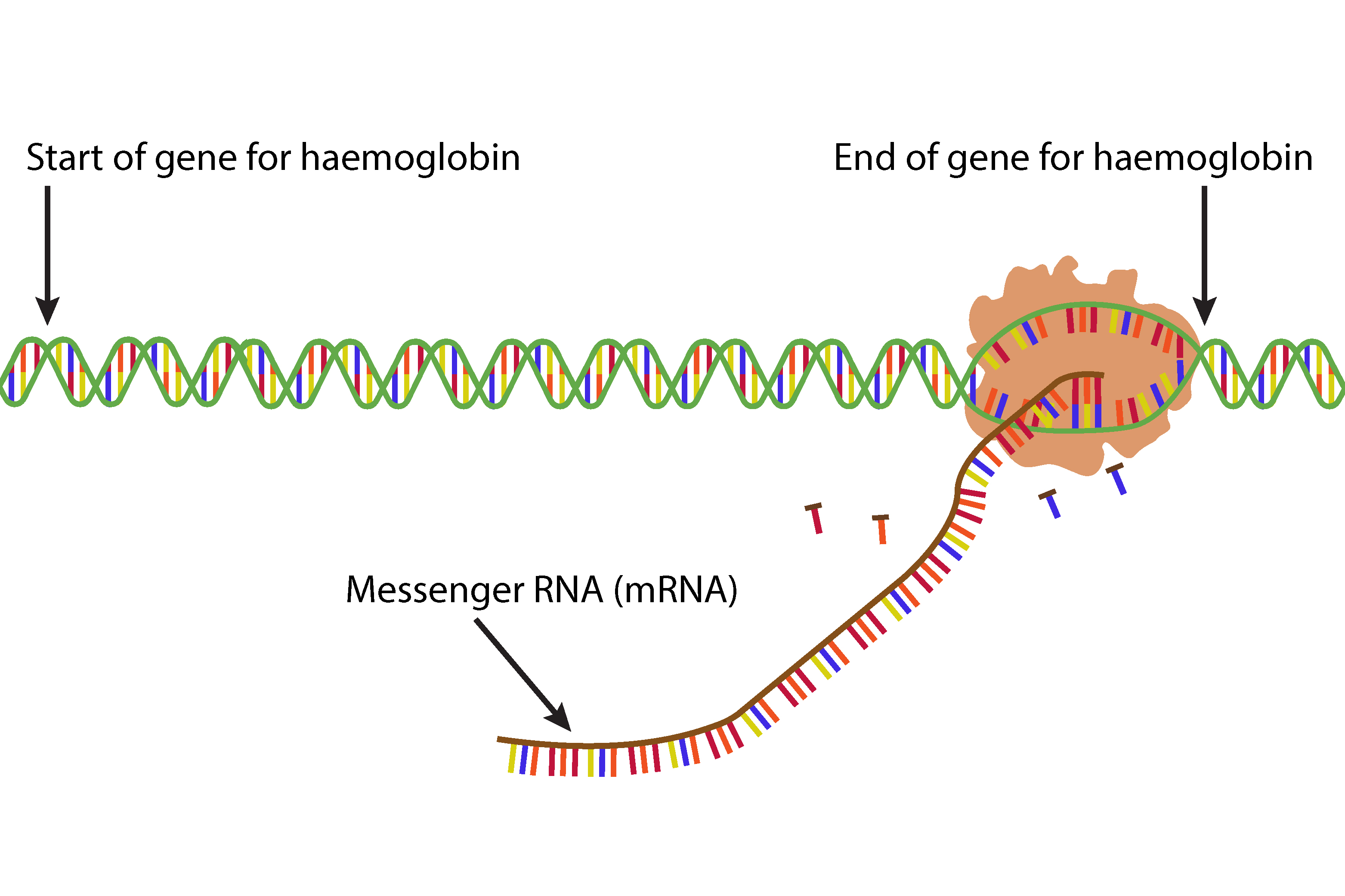 The enzyme nearing the end of the gene produces a long mRNA and starts to close the DNA
