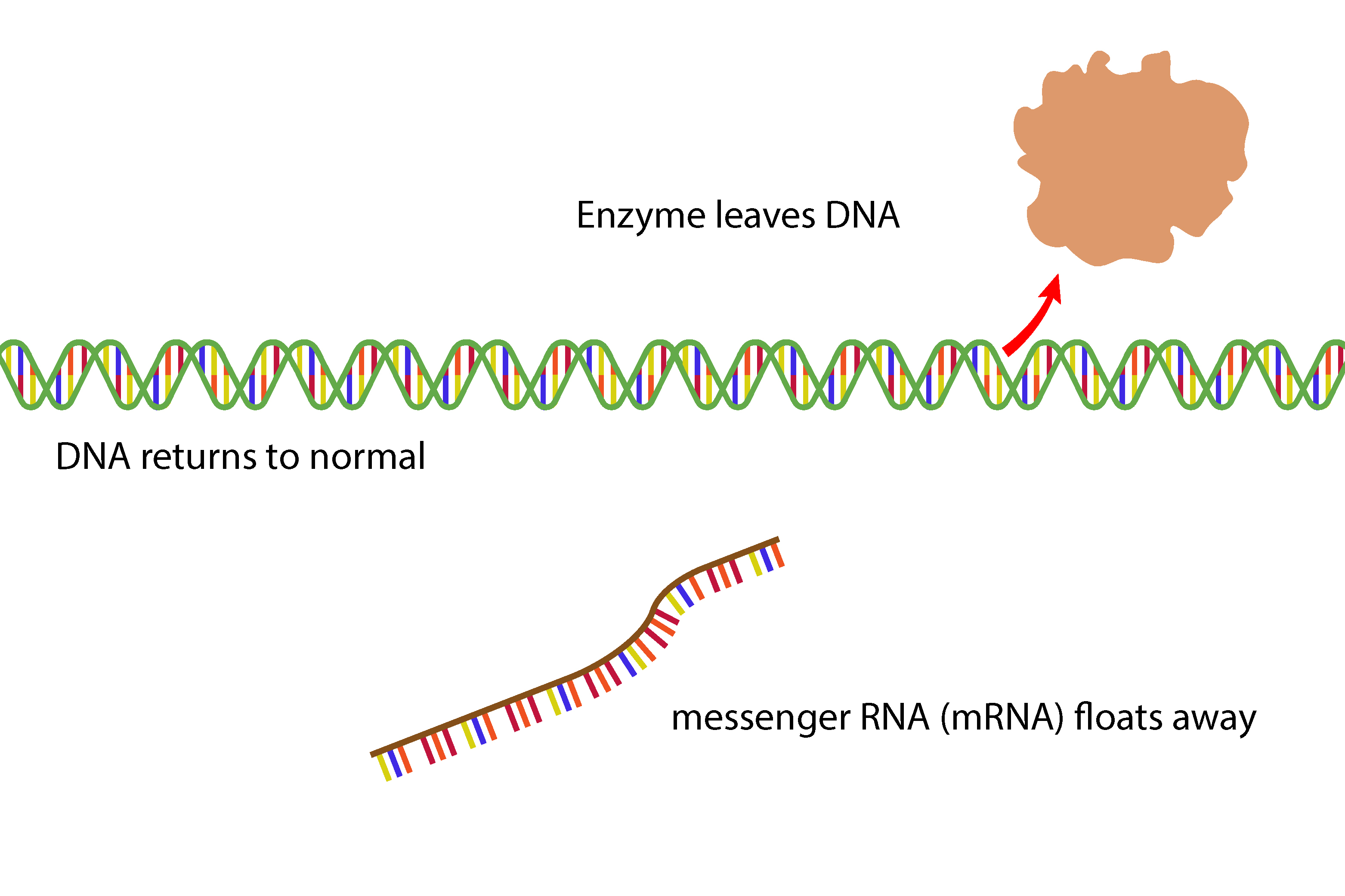 At the end of the gene the enzyme closes the DNA and messenger RNA leaves the DNA