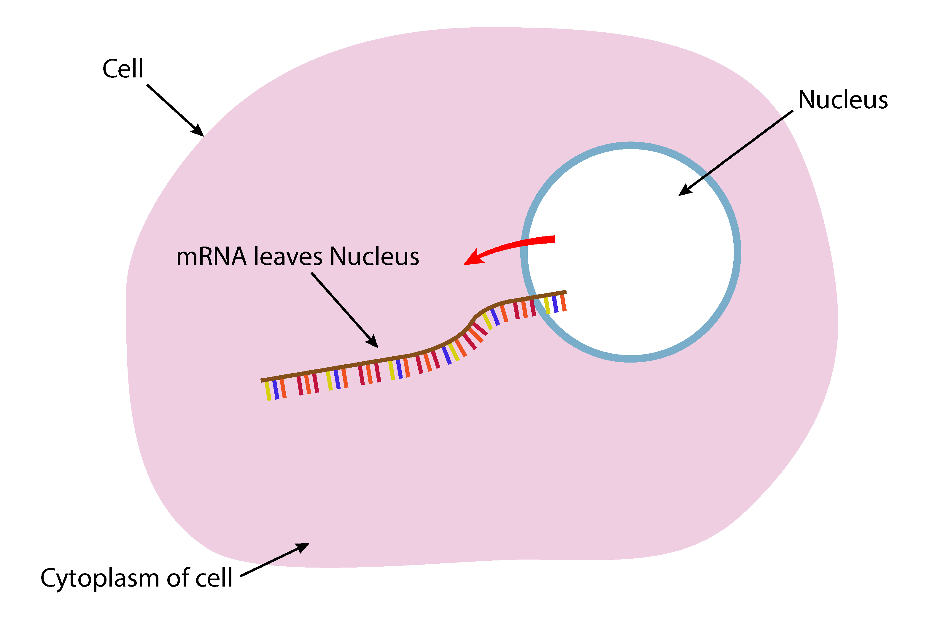 Because of the base change mRNA can leave the nucleus to the cytoplasm