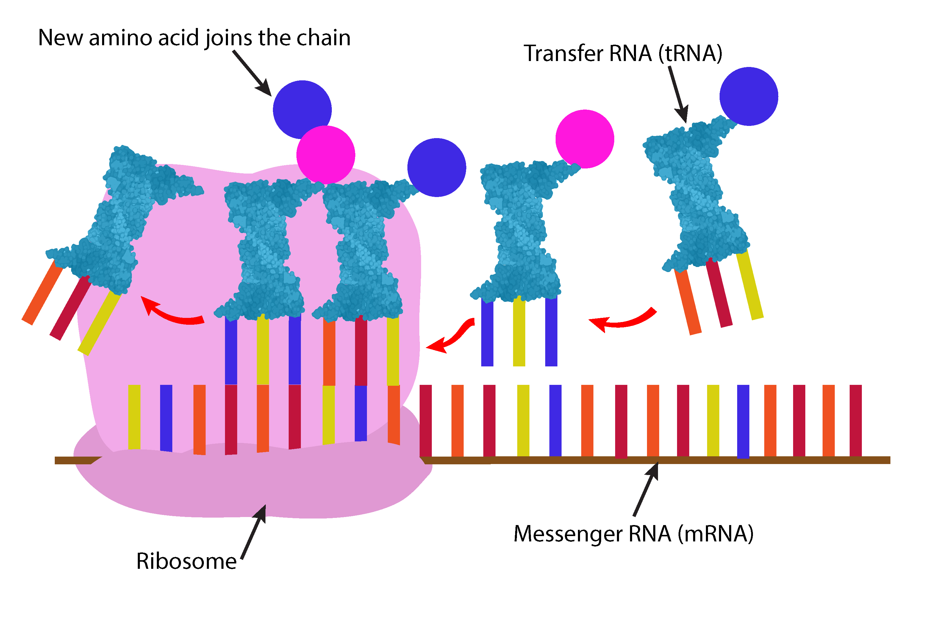 Amino acid chains form as the ribosome moves along the mRNA attaching tRNA as it goes