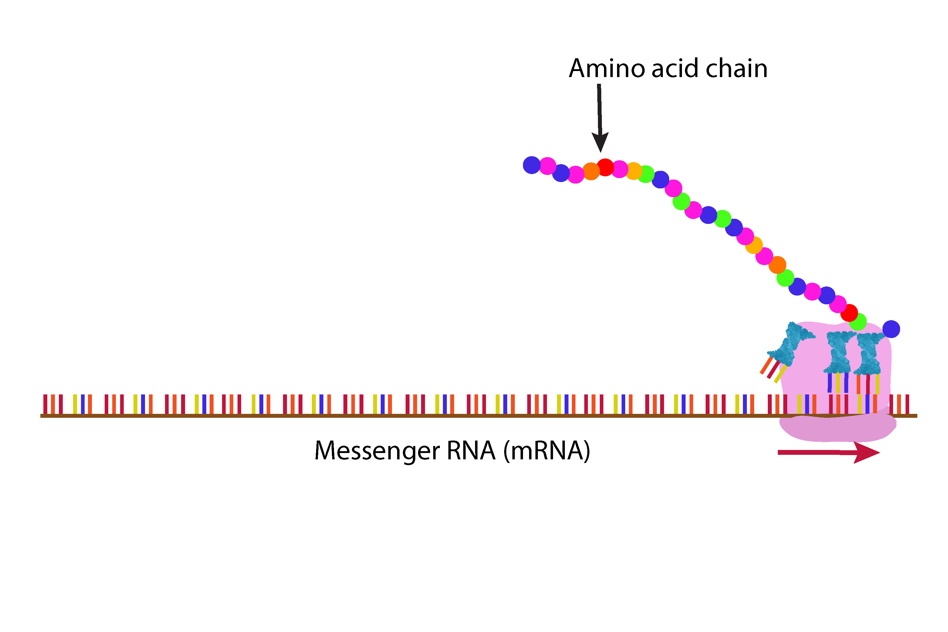 As the ribosome nears the end of the mRNA it has made a long chain of protein in this case haemoglobin