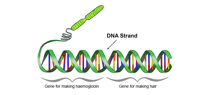 Each strand of DNA contains Gene segments