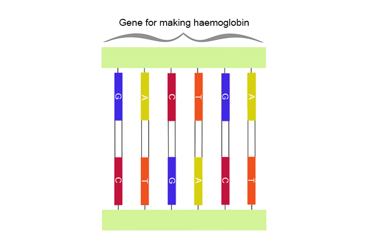 Graphic of haemoglobin gene segment of a DNA strand
