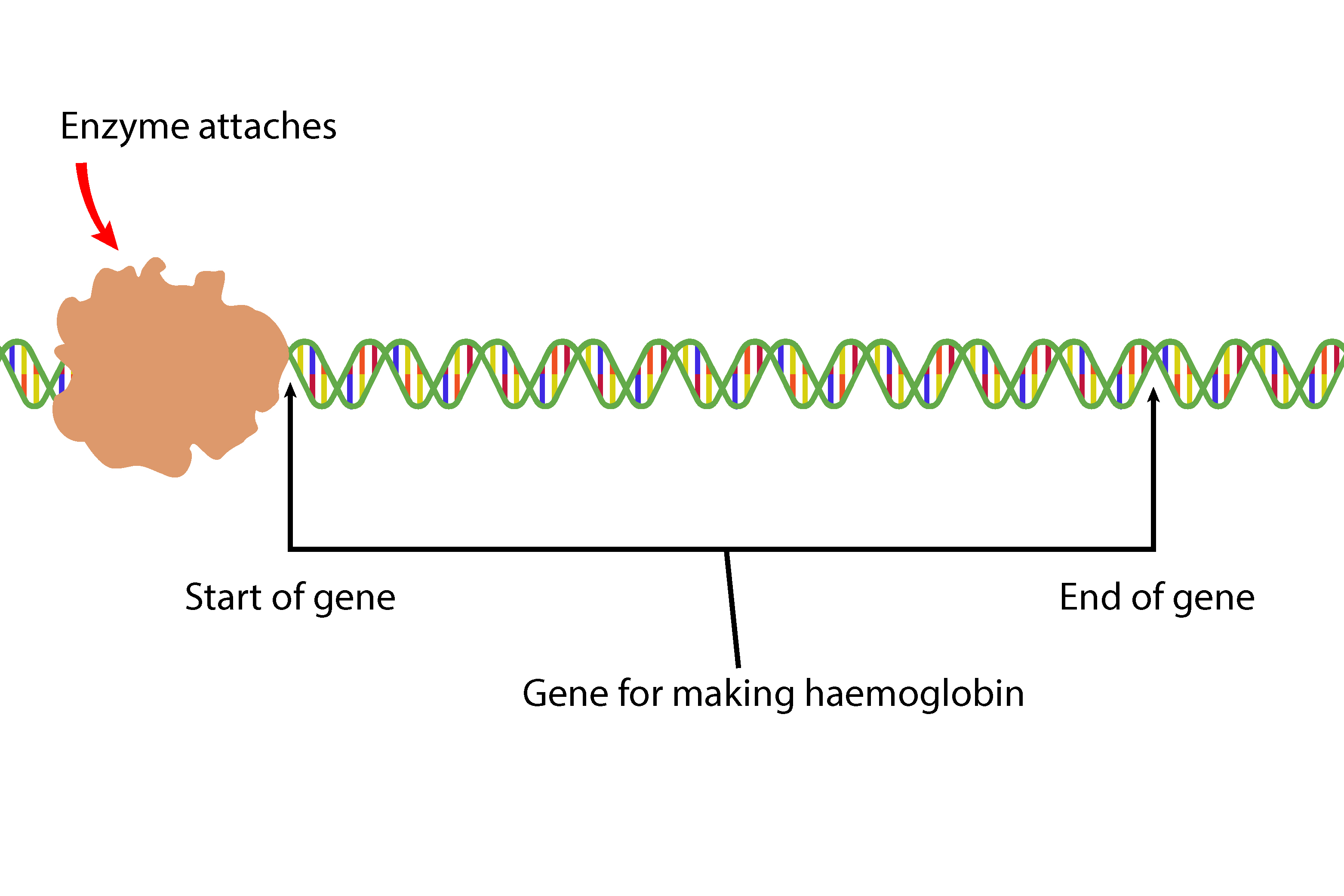 Enzymes attach to a DNA strand but at the start of the haemoglobin gene segment ready to read