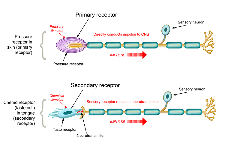 Sensory neurones have receptors attaches at the start of the cell